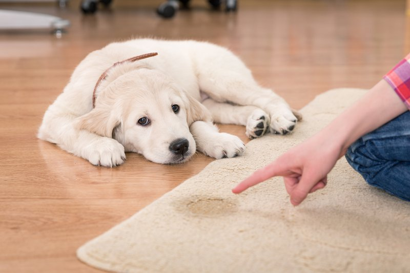 How Dog Diapers Can Help in Potty Training