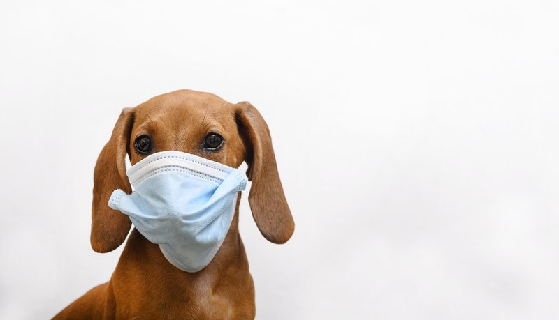 A red-haired dachshund puppy in a gauze bandage against the virus is looking at the camera, isolate.