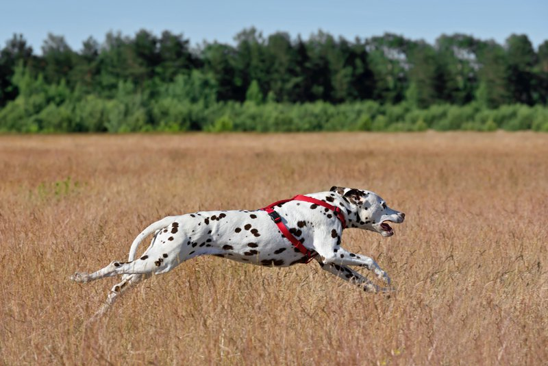 Relieving Joint Pain in Dogs