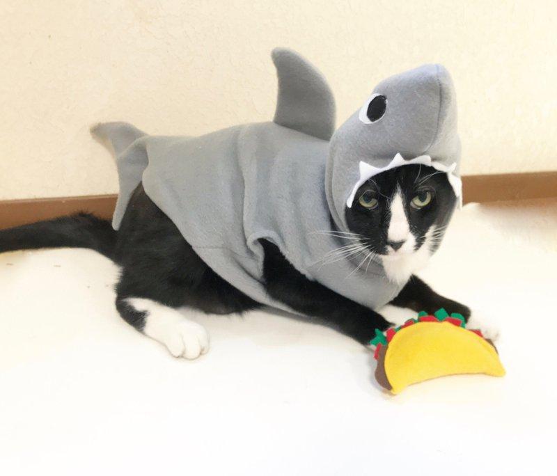 Shark kitten