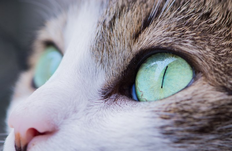 PrettyLitter Feline Eye Health: Cat Eye Infection, Ulcers, Allergies & More