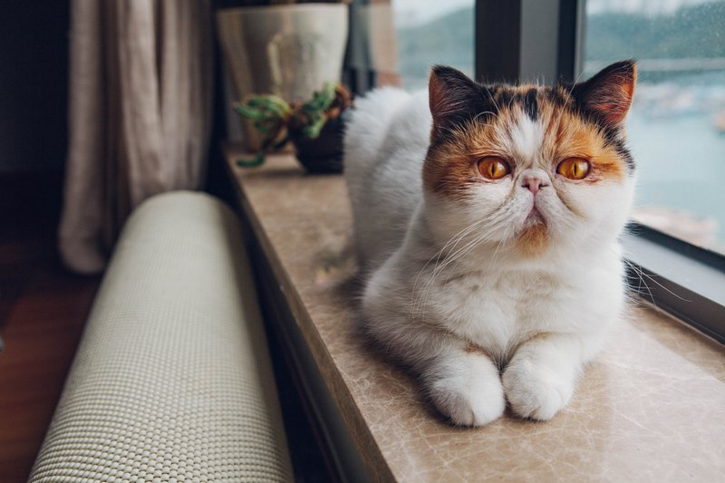 PrettyLitter Special Health Considerations for Flat-Faced Cats