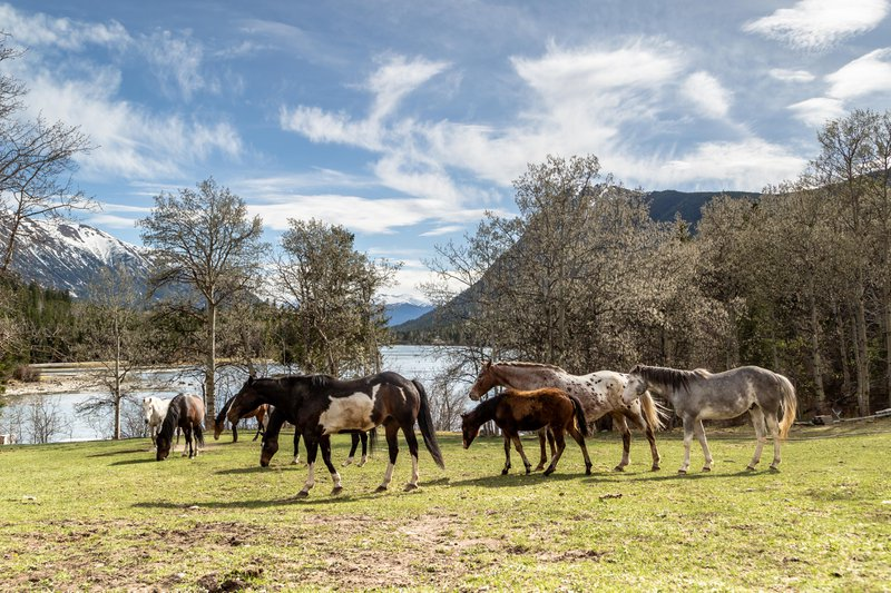 Horses resting by the Chilko river